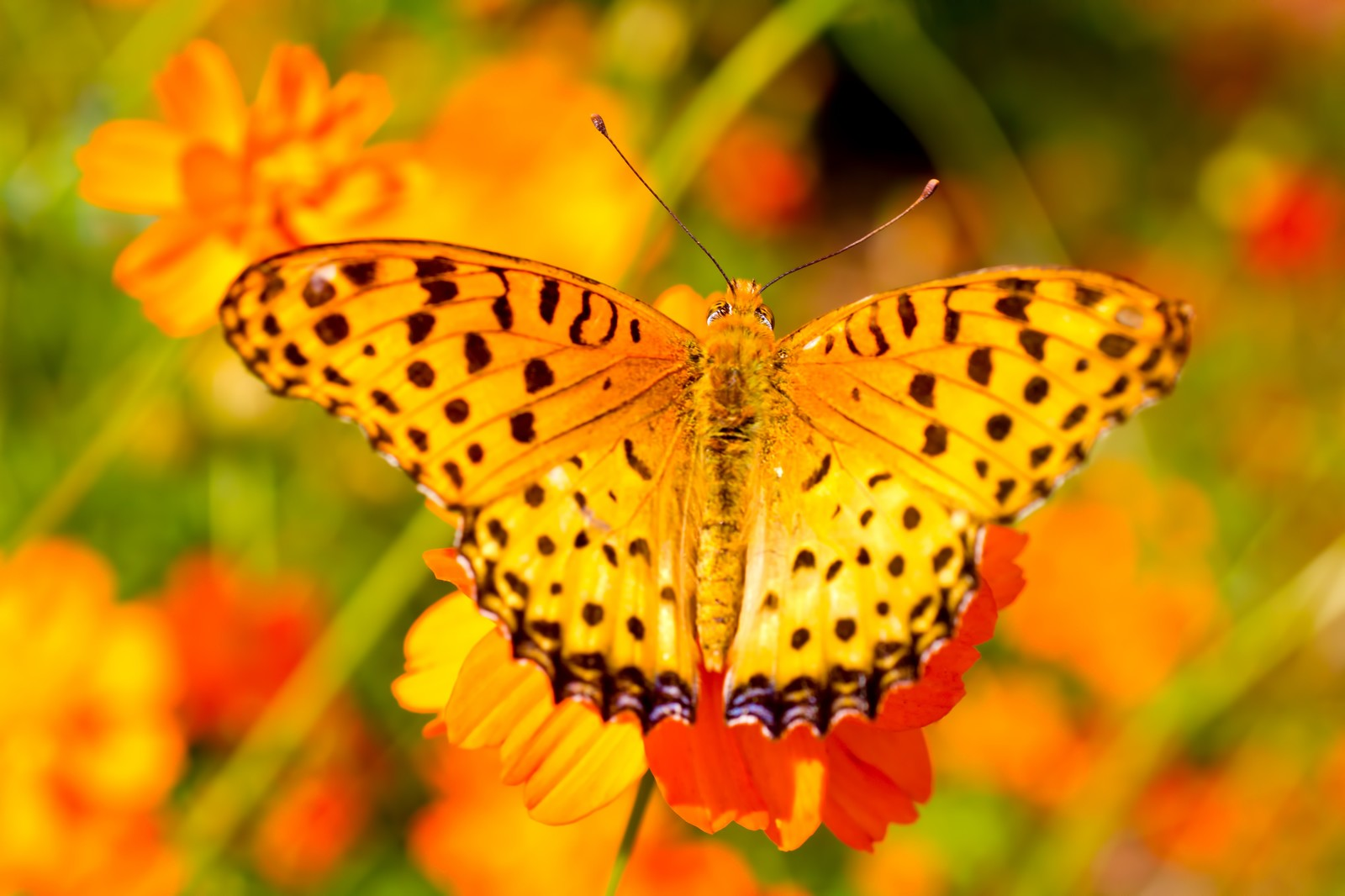 「黄色い蝶(ツマグロヒョウモンのオス)」の写真