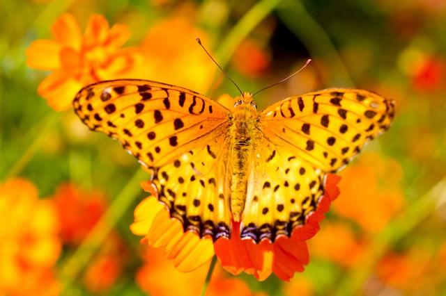 黄色い蝶(ツマグロヒョウモンのオス)の写真