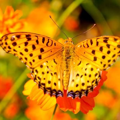 「黄色い蝶(ツマグロヒョウモンのオス)」の写真素材
