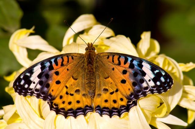 菊に止まるツマグロヒョウモンの写真