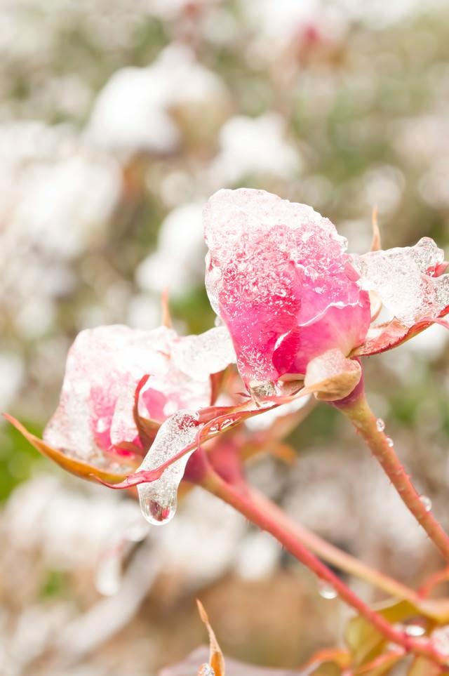 凍ったバラの写真