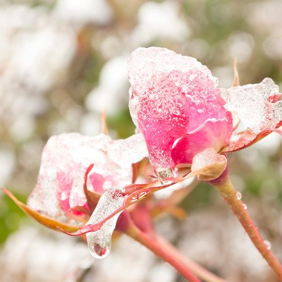 「凍ったバラ」の写真素材