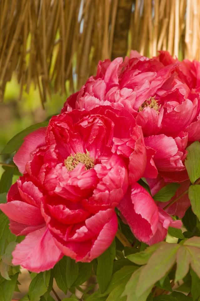 ボタンの花の写真