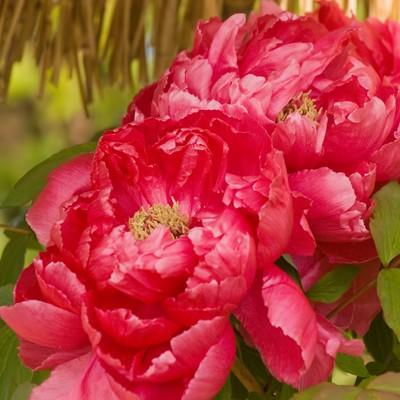 「ボタンの花」の写真素材