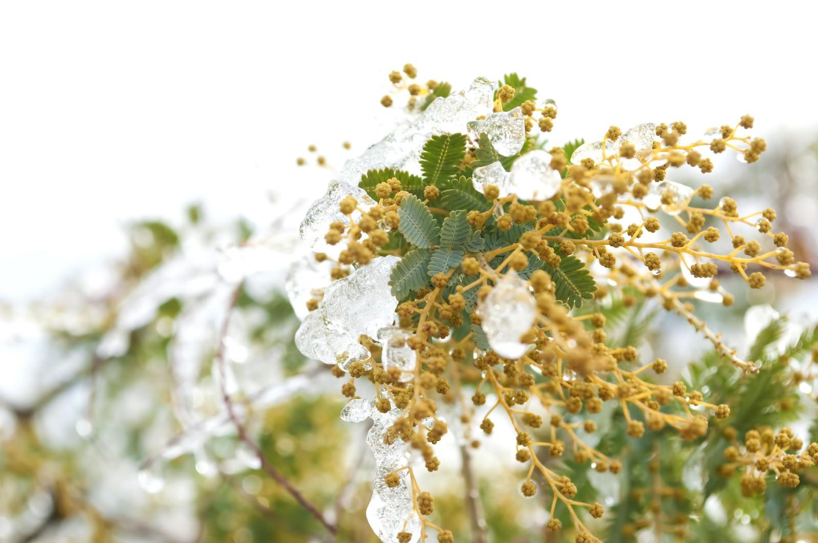 「ミモザの蕾」の写真