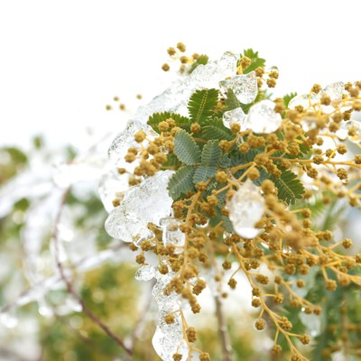 「ミモザの蕾」の写真素材