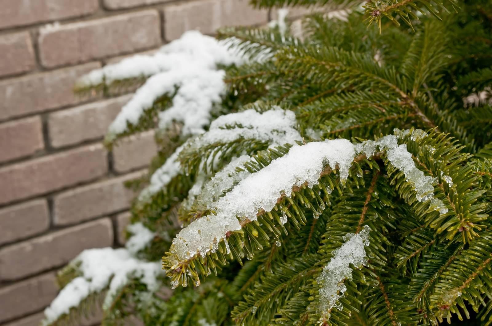 「モミと雪」の写真