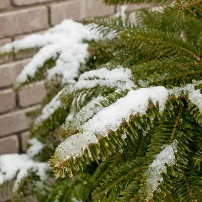 「モミと雪」の写真素材