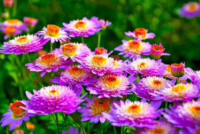 密生した桃色の菊の写真