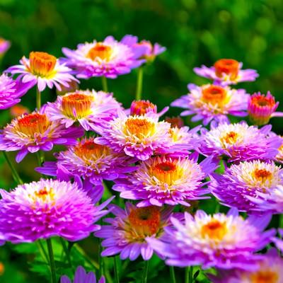 「密生した桃色の菊」の写真素材