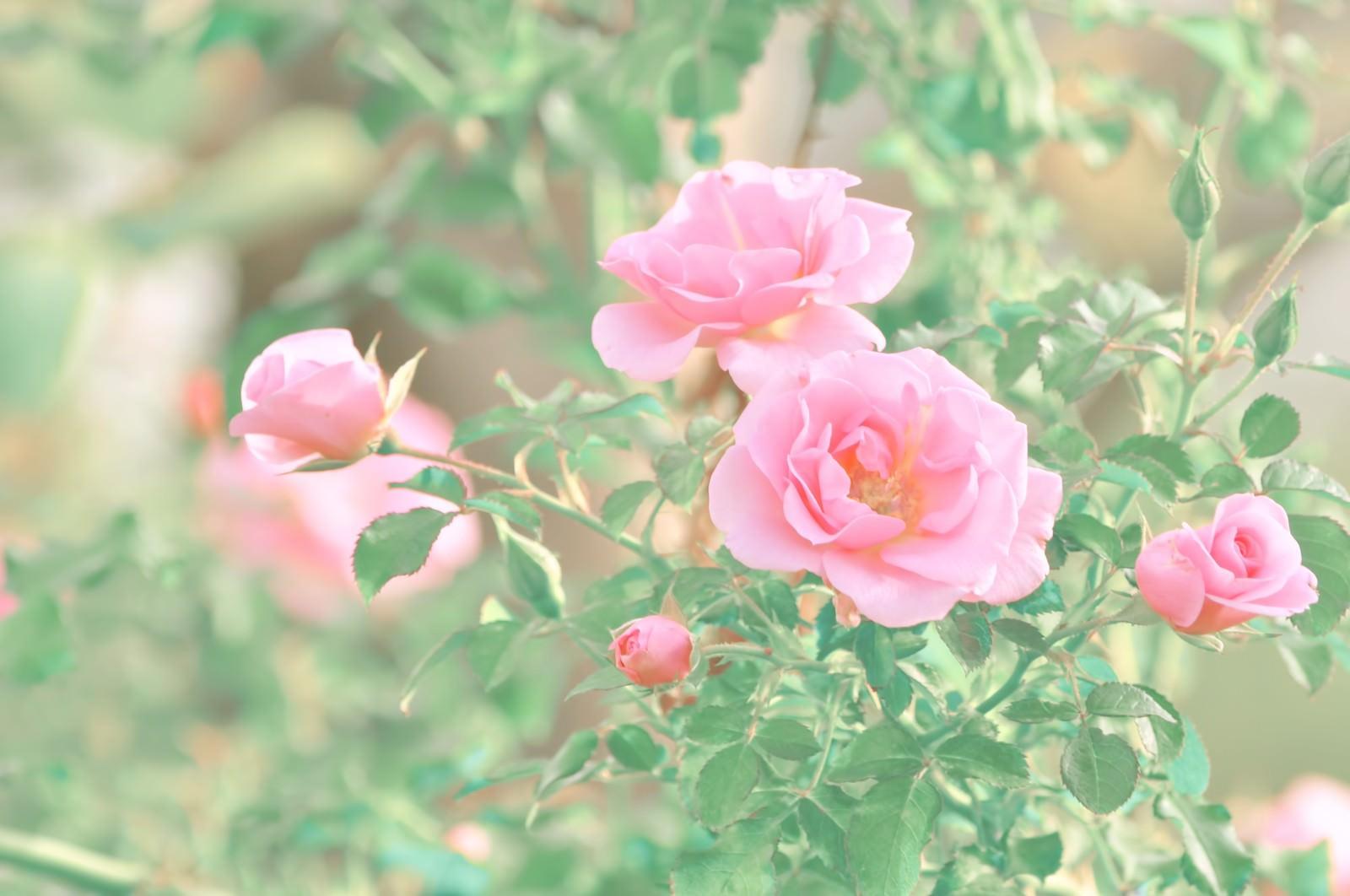 「ピンク色の薔薇」の写真