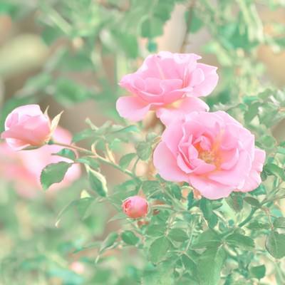 「ピンク色の薔薇」の写真素材