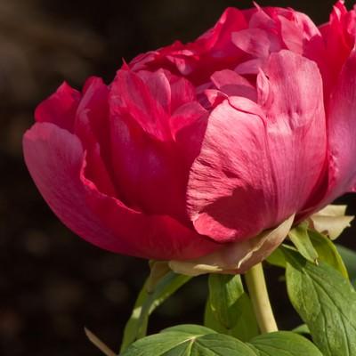 咲き始めのボタンの写真