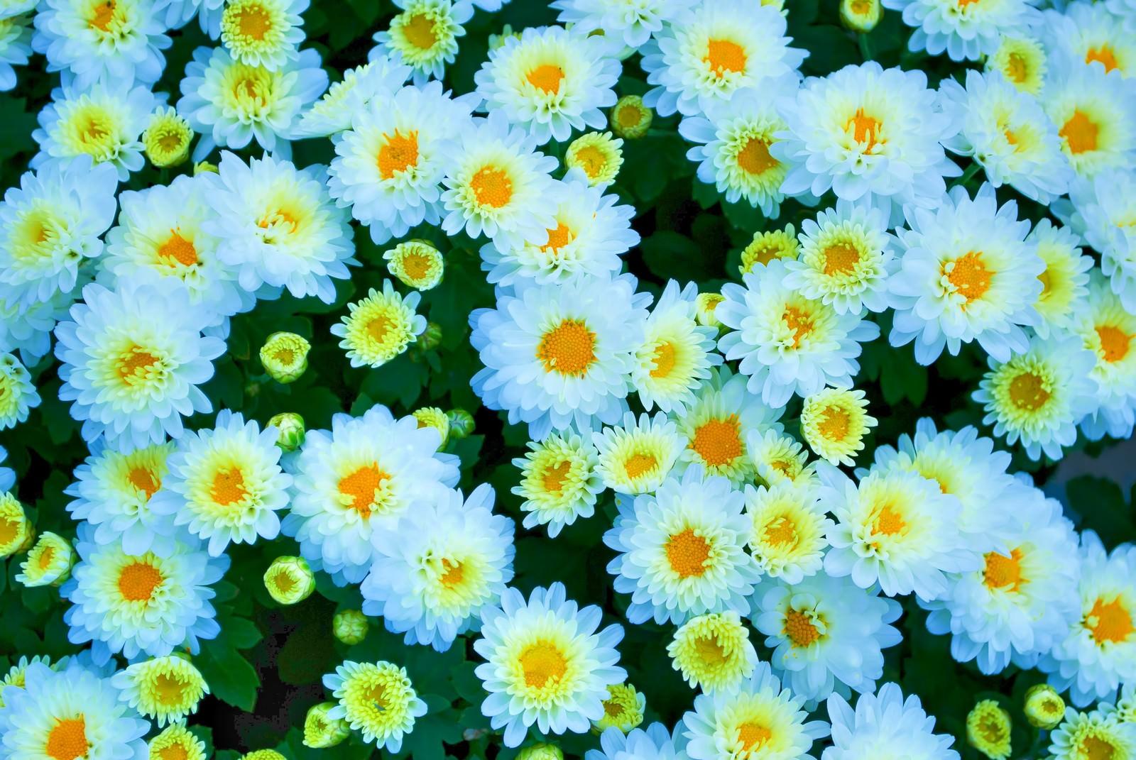 「白い菊のテクスチャ」の写真