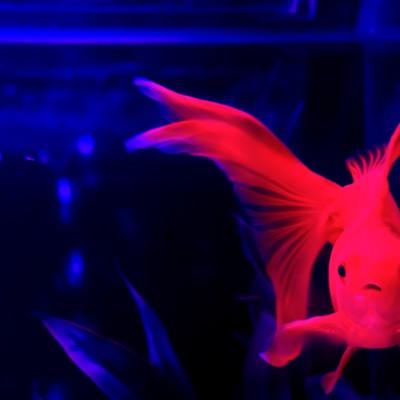 水槽の中の赤色の金魚の写真