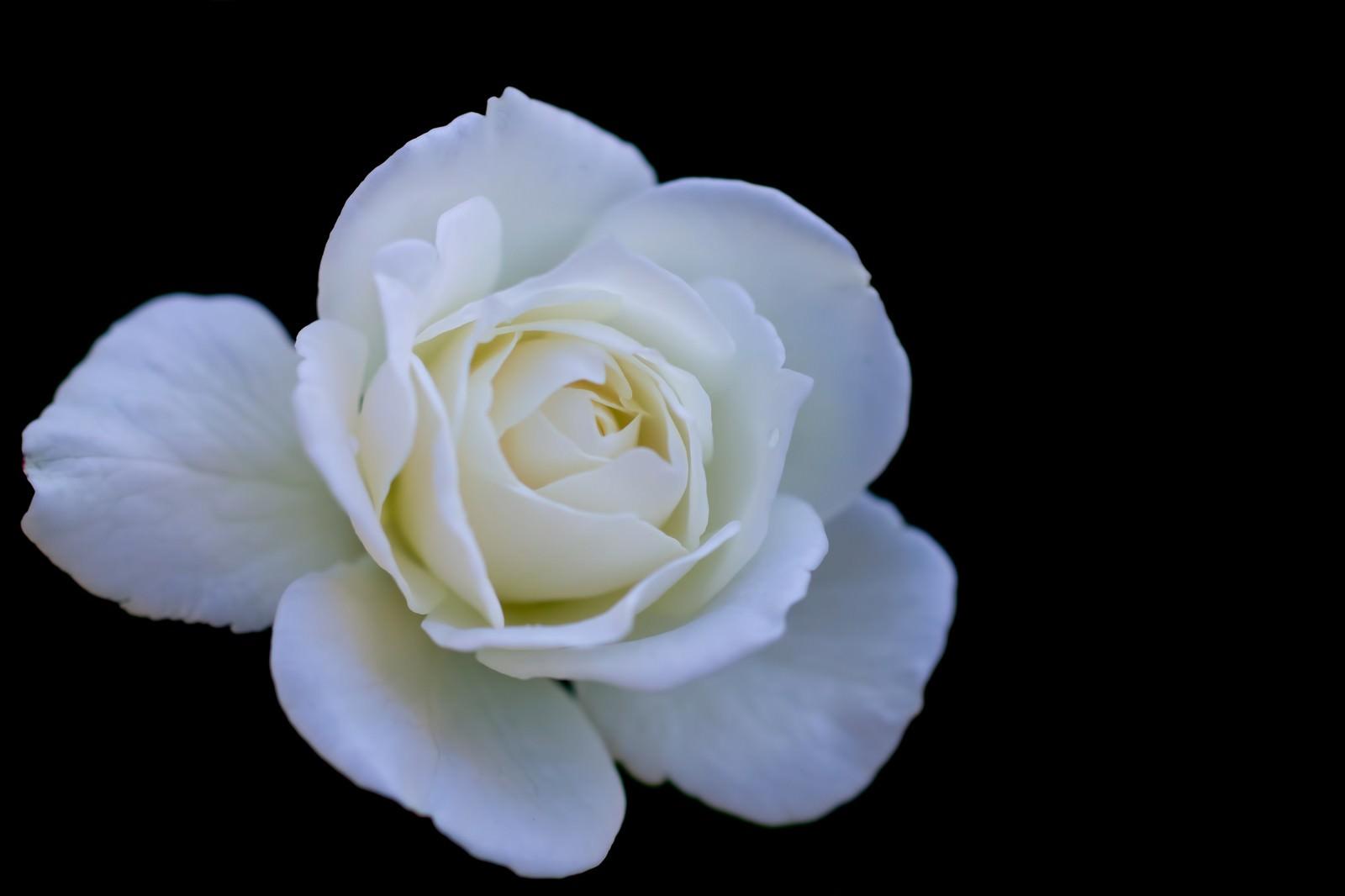 「シュネービッチェンの薔薇」の写真