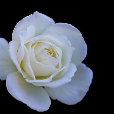 シュネービッチェンの薔薇の写真