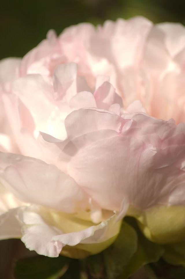 薄いピンクのボタンの写真
