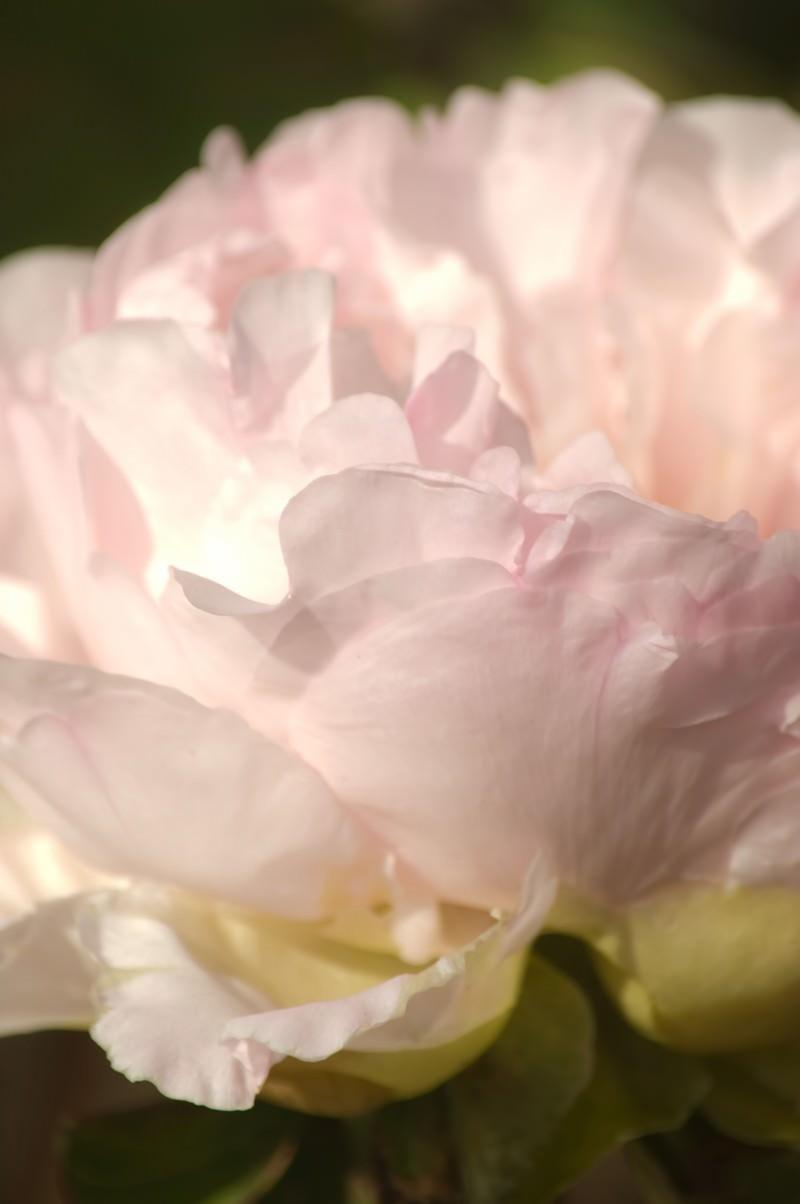 「薄いピンクのボタン」の写真