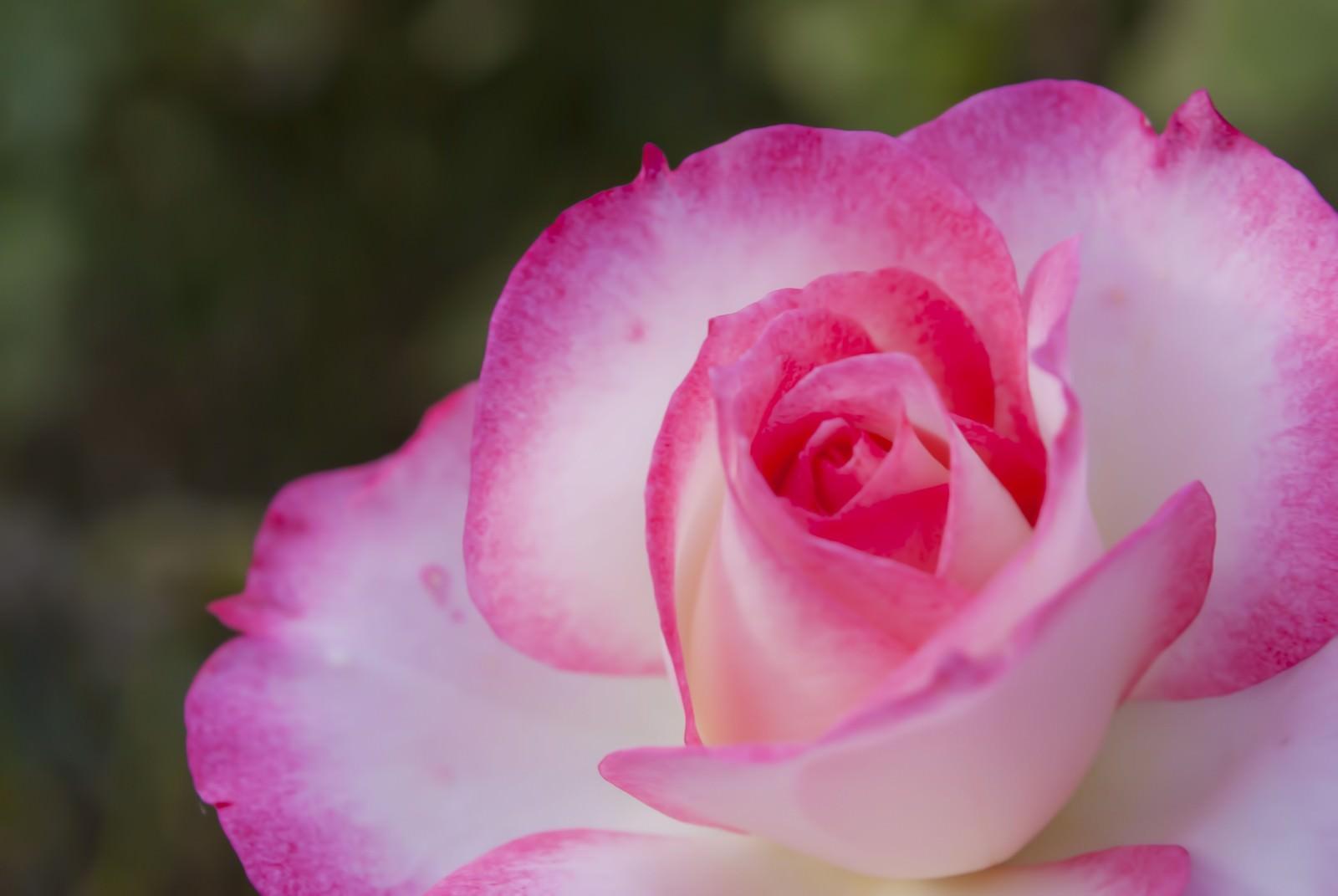 「ピンク色の鮮やかなバラ」の写真