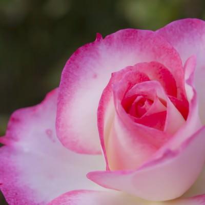 「ピンク色の鮮やかなバラ」の写真素材
