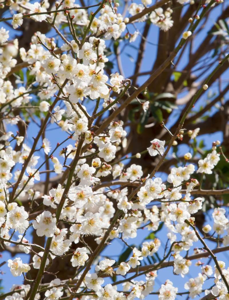 「白い梅の花」の写真
