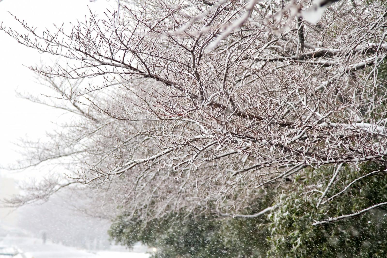 「雪が積もる桜の木々」の写真