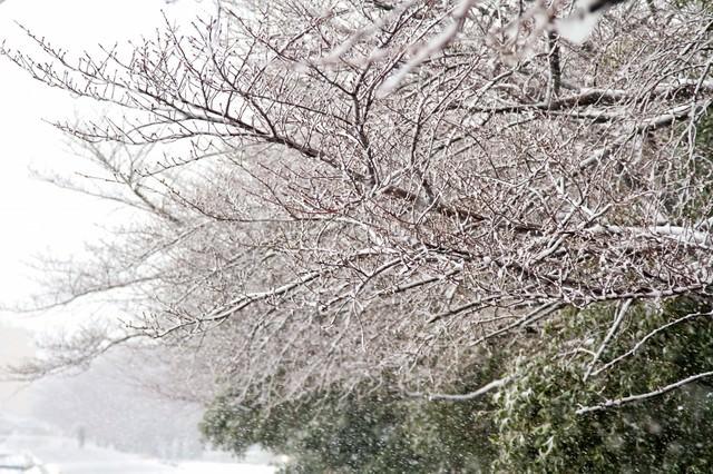 雪が積もる桜の木々の写真