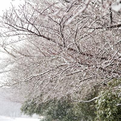 「雪が積もる桜の木々」の写真素材