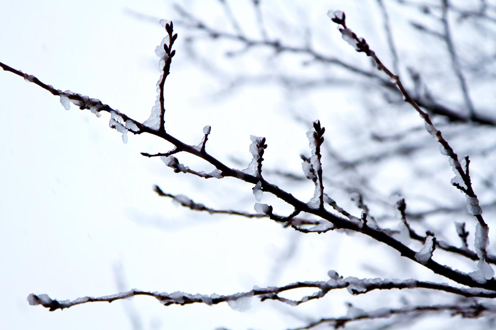 「雪が積もった桜のつぼみ」の写真