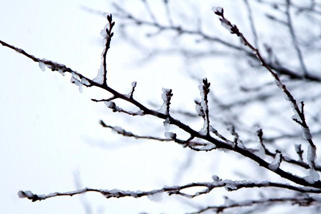 雪が積もった桜のつぼみの写真