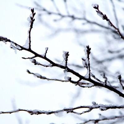 「雪が積もった桜のつぼみ」の写真素材