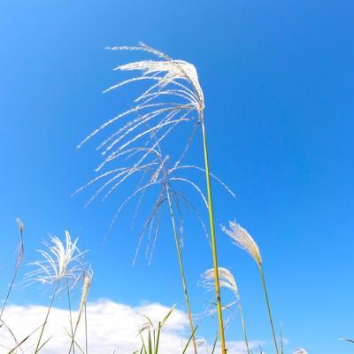 「青空とすすき」の写真素材