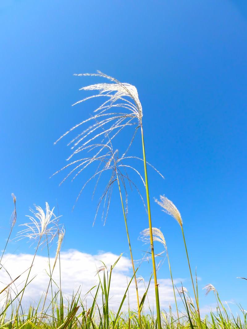 「青空とすすき」の写真
