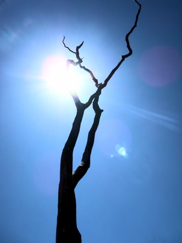ハワイ島の枯れ木の写真