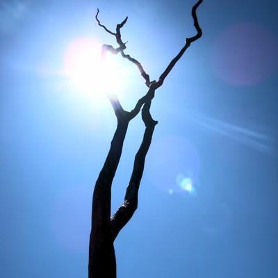 「ハワイ島の枯れ木」の写真素材
