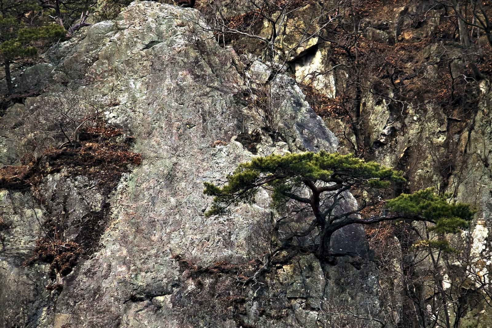 「岩場に生える松の木」の写真