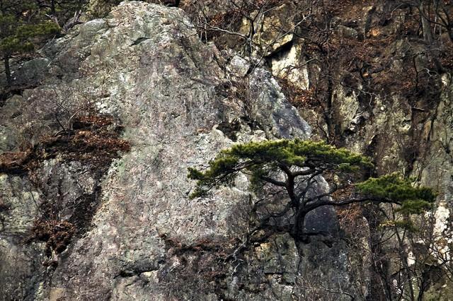 岩場に生える松の木の写真