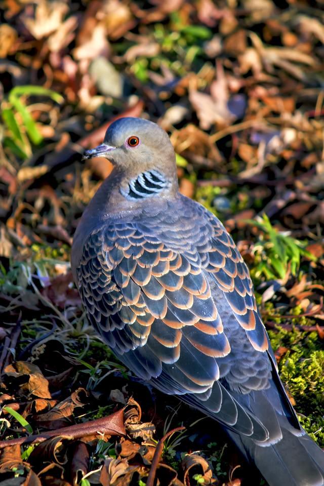 目がオレンジ色の鳩の写真