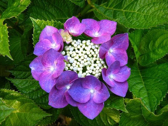 紫色に咲く額あじさいの写真