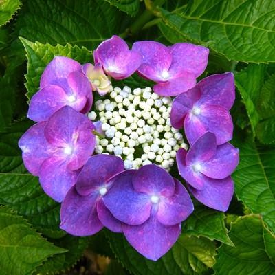 「紫色に咲く額あじさい」の写真素材