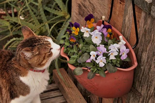ビオラの花と猫の写真