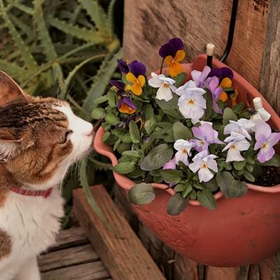 「ビオラの花と猫」の写真素材