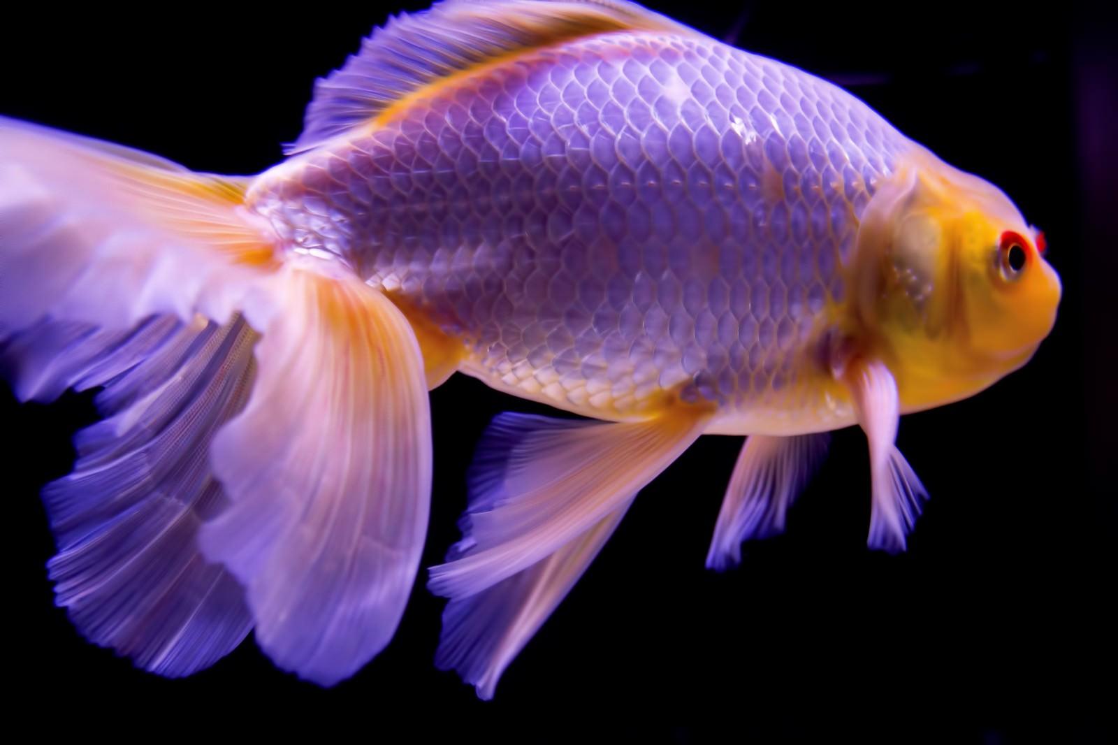 「尾びれが素敵な金魚」の写真