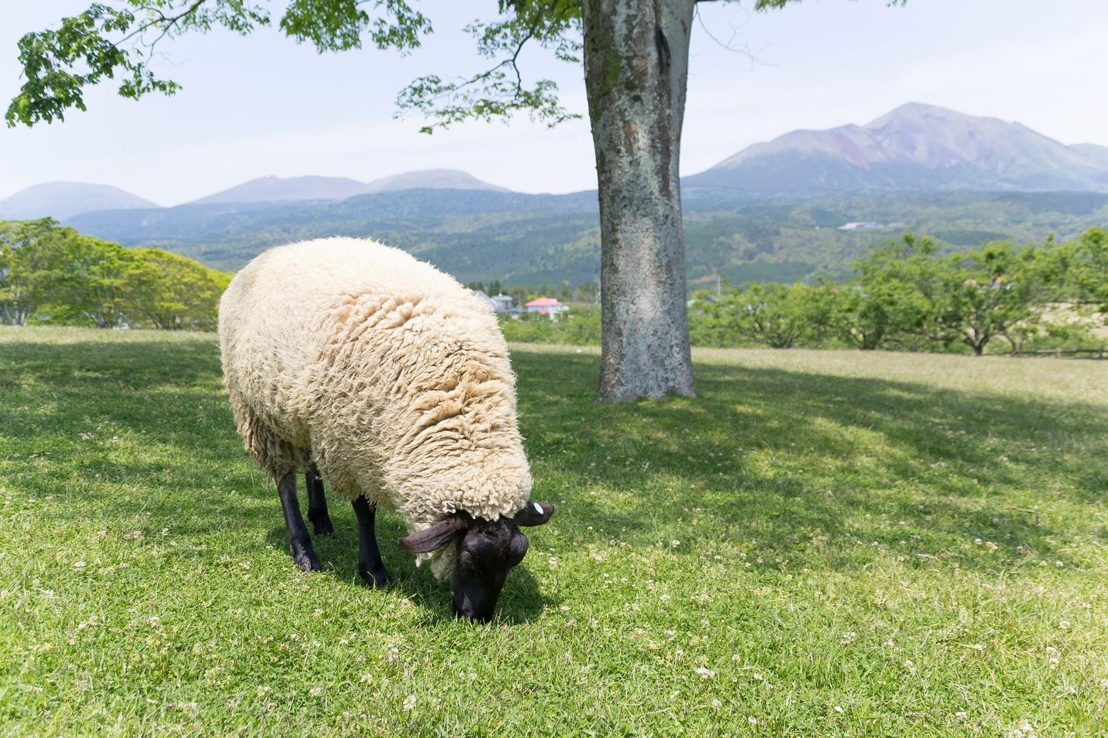 「丘の上のモコモコ羊丘の上のモコモコ羊」のフリー写真素材を拡大