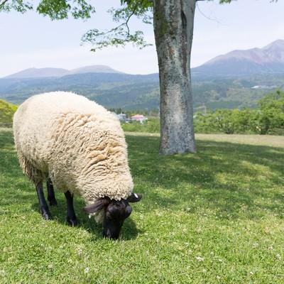 「丘の上のモコモコ羊」の写真素材