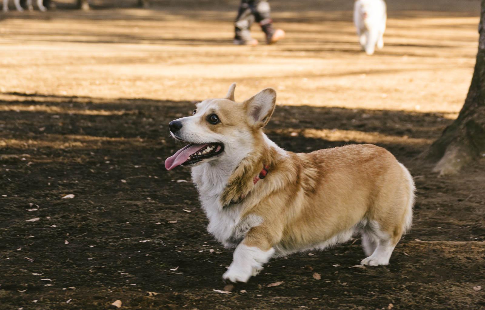 「お散歩中のウェルシュ・コーギー・ペンブローク(犬)」の写真