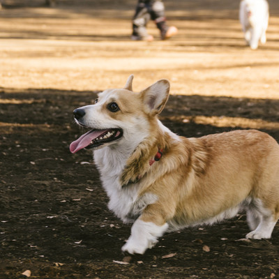 お散歩中のウェルシュ・コーギー・ペンブローク(犬)の写真