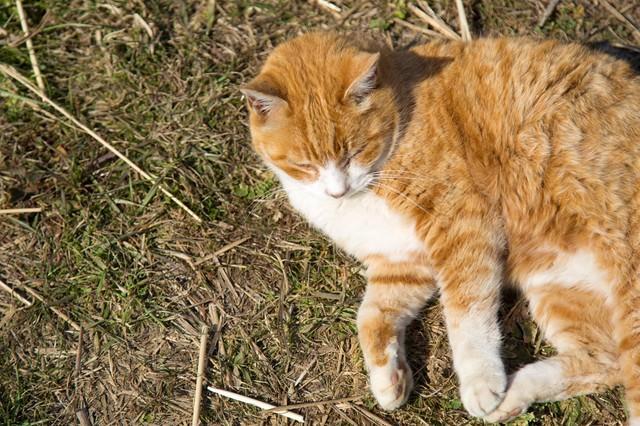 日向ぼっこをするネコの写真