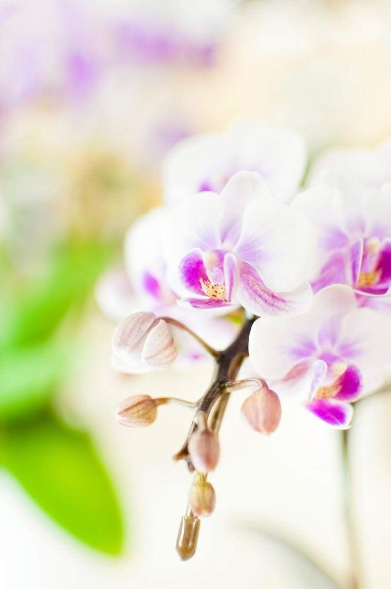 「胡蝶蘭」の写真